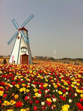 tulip-773241_1920